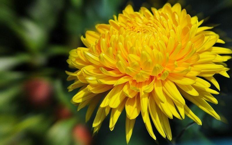 Sử dụng cánh hoa cúc tươi để cải thiện các triệu chứng đau răng do sâu