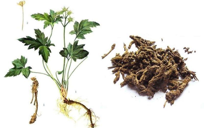 Hoàng liên là một thảo dược được sử dụng trong các bài thuốc Đông y