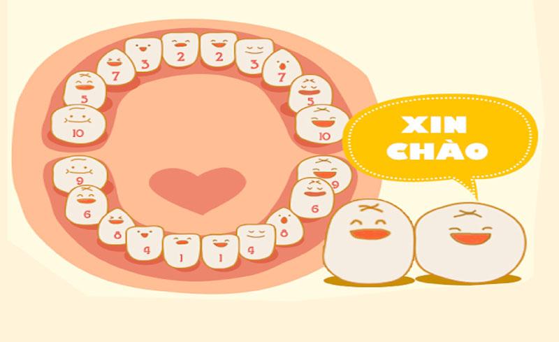 Hệ răng sữa gồm 20 chiếc răng.