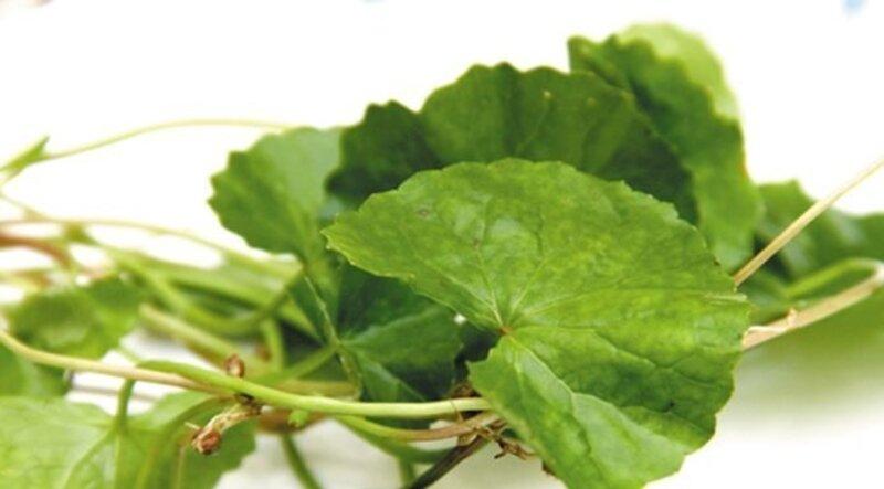 Rau má với hương nhu khi kết hợp sẽ là bài thuốc Đông Y trị viêm lợi được nhiều người áp dụng