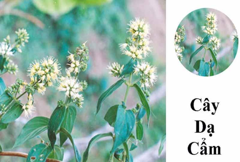Sử dụng thuốc nam chữa viêm nha chu bằng cây dạ cẩm
