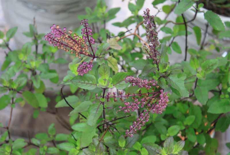 Bài thuốc nam chữa viêm nha chu bằng cây nhu tía