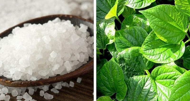 Kết hợp lá lốt với muối làm tăng hiệu quả trị bệnh