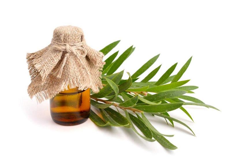 Tinh dầu tràm trà từ lâu đã được biết đến với tác dụng giảm tiêu sưng, giảm viêm, ngăn ngừa tình trạng chảy máu chân răng