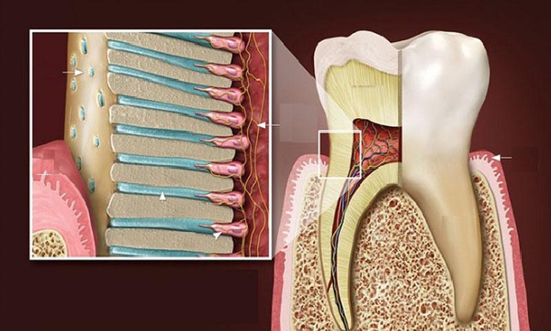 Hình ảnh chi tiết ngà răng
