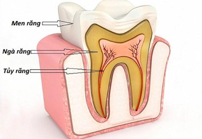 Tủy răng là phần quan trọng cung cấp dinh dưỡng để nuôi răng