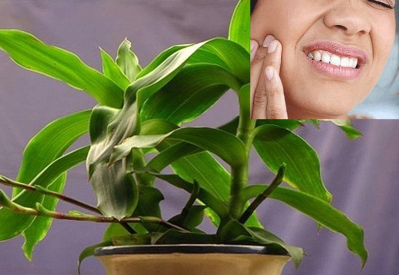 Dùng cây lược vàng chữa bệnh đau răng từ lâu đã được nhiều người biết đến