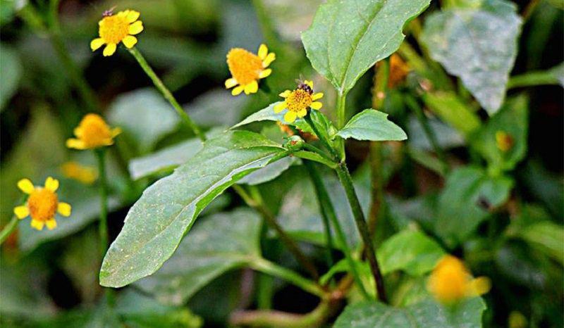 Cây hoa cúc áo mang đến bài thuốc chữa đau răng hiệu quả