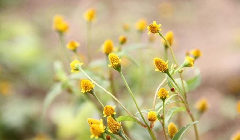 Các bài thuốc hoa cúc áo chữa đau răng chỉ giúp giảm đau tạm thời