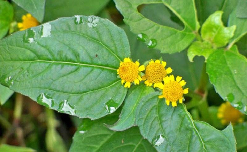 Có thể rửa sạch nụ hoa rồi ngậm nhai trực tiếp tại vùng răng bị đau