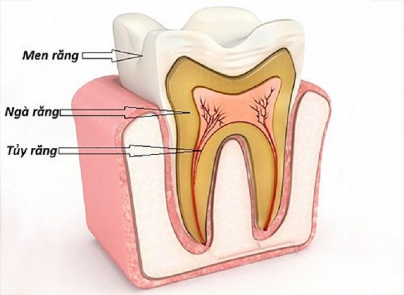 Cấu tạo giống như những chiếc răng khác trên cung hàm