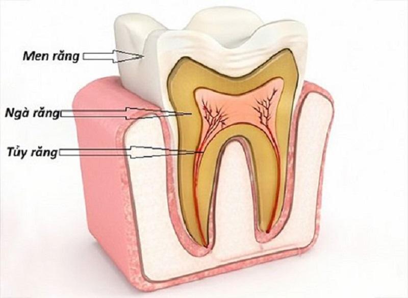 Răng nanh có cấu tạo giống như những chiếc răng khác