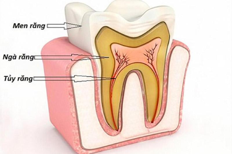 Tủy răng đóng vai trò vô cùng quan trọng, là sự sống của răng